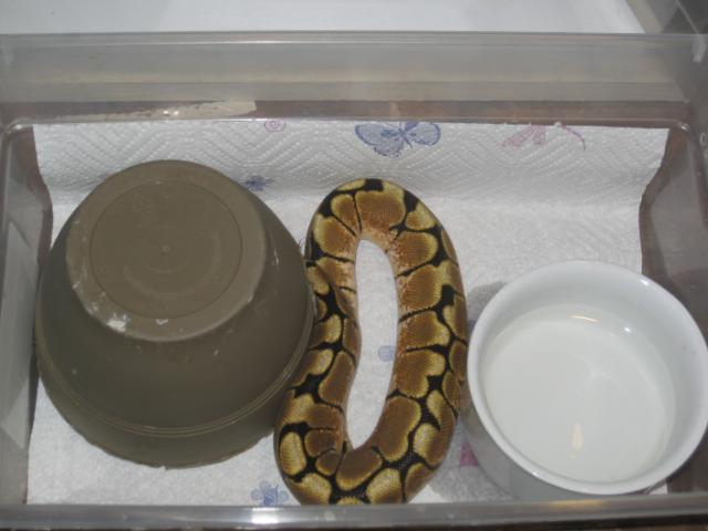 how to make my ball python eat